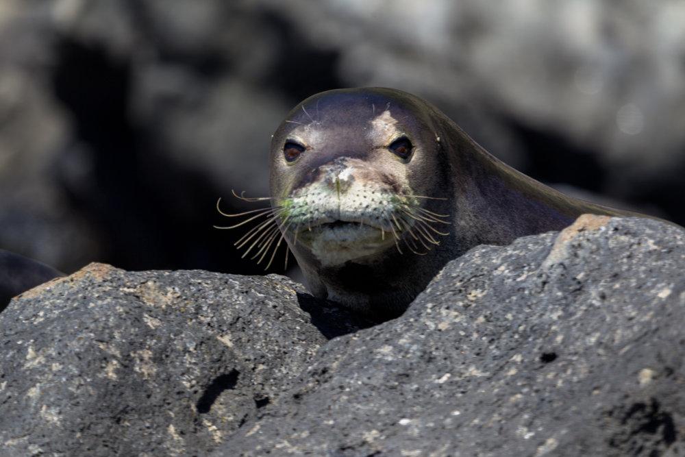 Monk-Seal-Stare.jpg