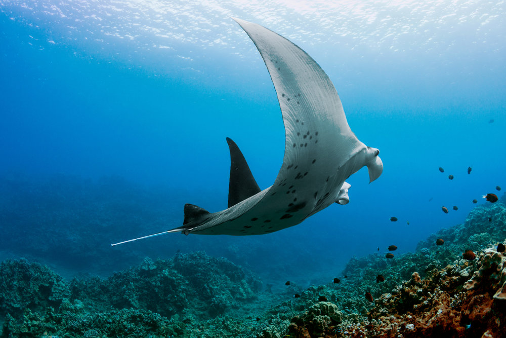 Manta-Coral-Under-Profile.jpg