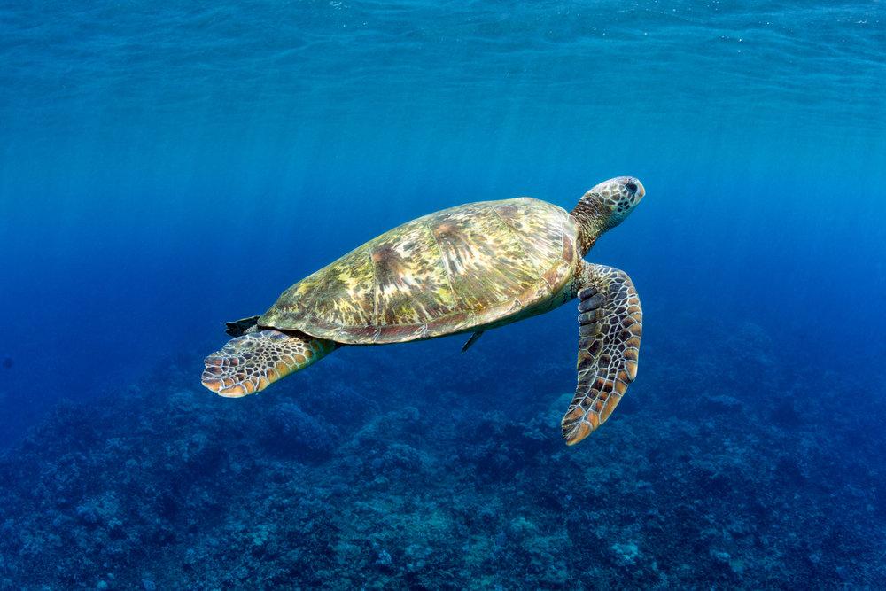 Turtle-Sun-Swim.jpg