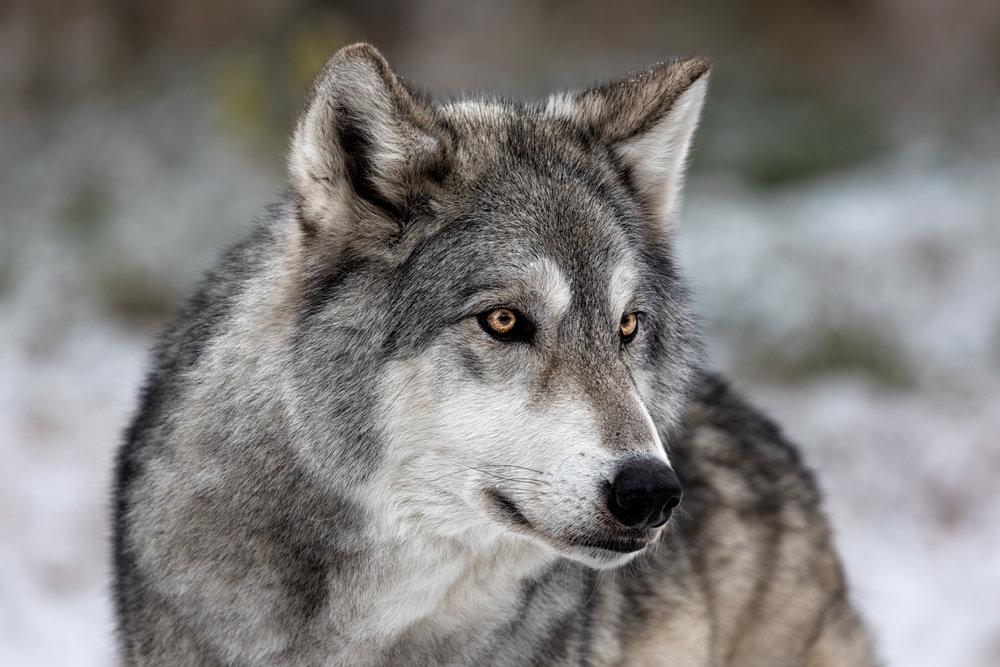 Wolf-Sanctuary-6679.jpg