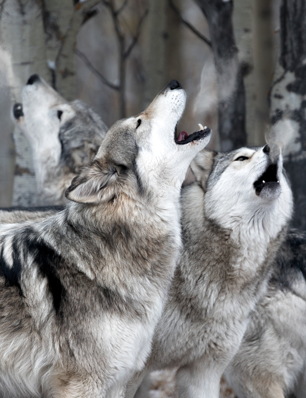 Wolf-Sanctuary-7523-vertinsta.jpg