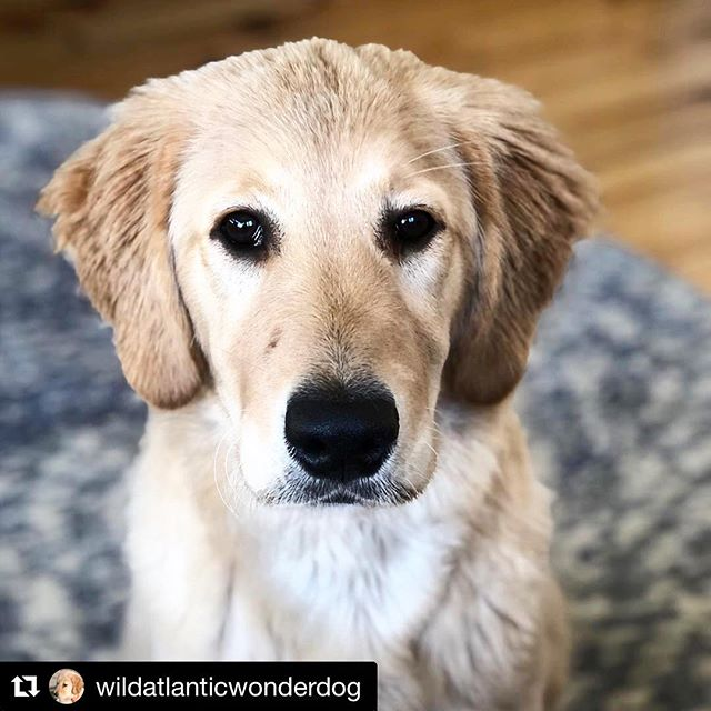 The cuuuuteness!!!! Happy Saturday!😍 #Repost @wildatlanticwonderdog with @get_repost ・・・ Another day another mug shot. Staring down the rest of this Friday! Not sure where this snout came from! My humans say I am handsome. #puppies #puppiesofinstagram #goldenretriever #livingyourbestlife #enniscrone #sligo #northmayo #wildatlanticway #wildatlanticwaysligo