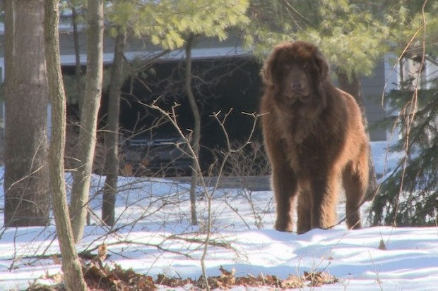 Shaggy the abandoned Newfoundland:  http://www.grindtv.com/outdoor/outposts/post/shaggy-dog-verge-capture/