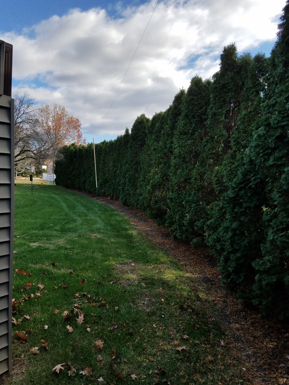Arborvitae were over grown and damaged from this past harsh winter.
