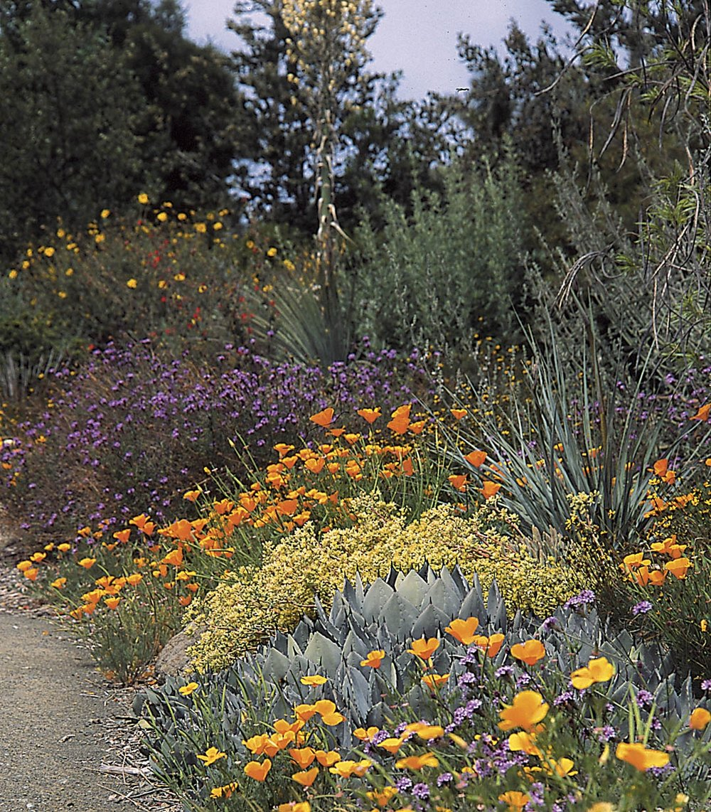 This mix of California natives not only establishes your location: Southern California, but it creates a beautiful palette that is perfect medicine for our unique landscape.  Click the image to find out more about our native landscape.