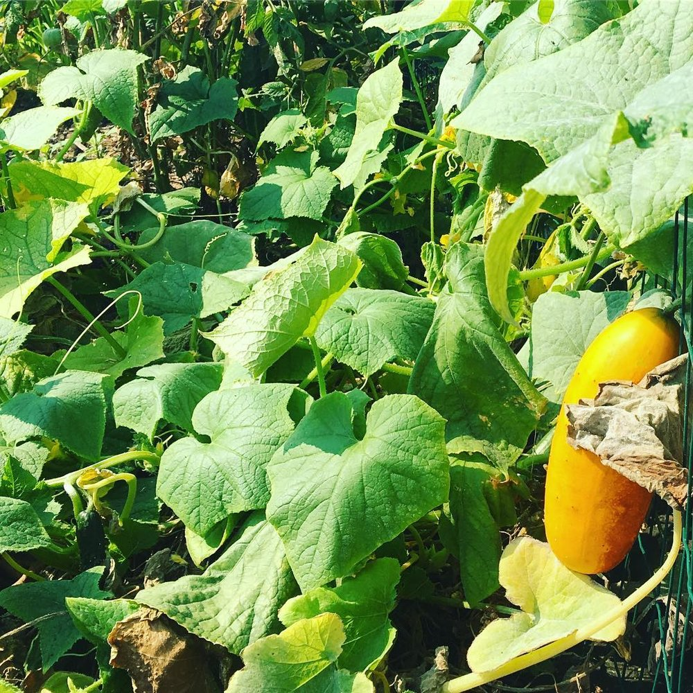 A fat summertime squash almost ripe for the picking.