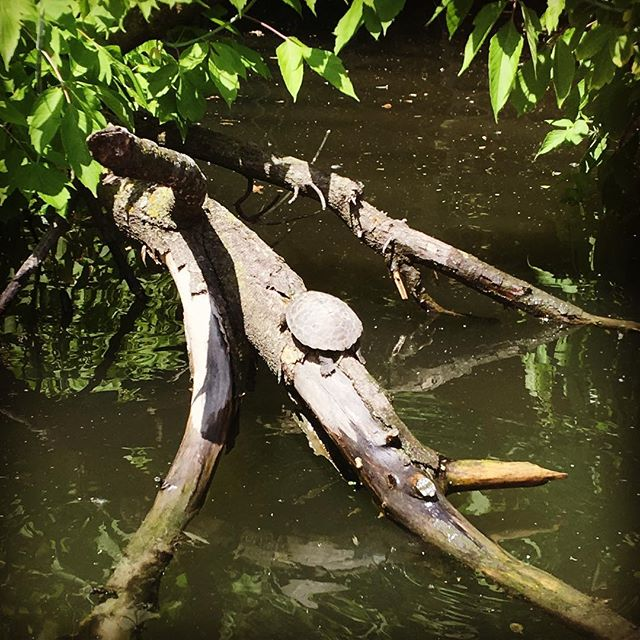 Our team has seen twice as many turtles (4 different species in all) within a quarter mile of the floating garden this summer, compared to the same time last year. That's got to mean we're doing something right! 🐢 🐢 🐢 . . . . . . . . . . #turtle #turtles #turtleturtle #reptiles #reptile #chicagoriver #chicago #thechi #chitown #summertimechi #summertime #basking #sunning #sun #urban #urbanrivers #urbananimals #tanning #tan