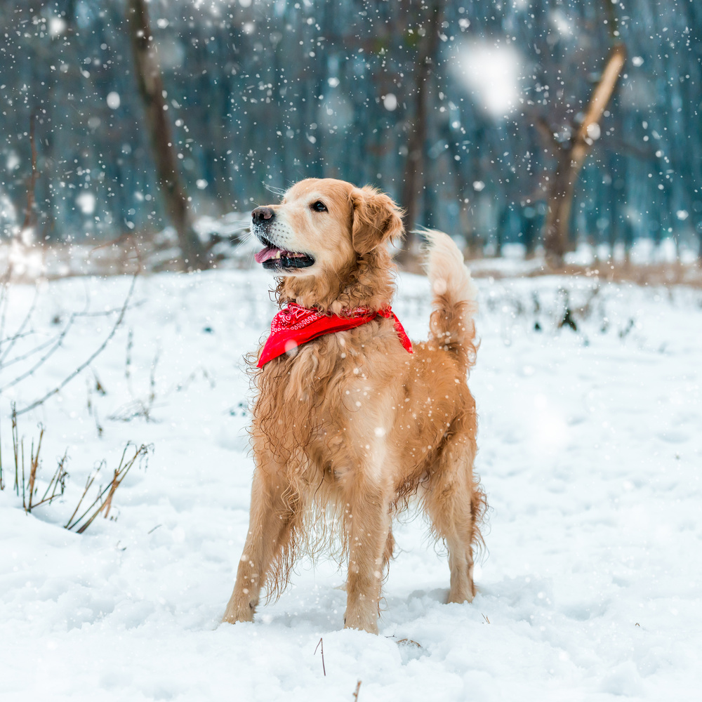 golden-retriever-snow-day.jpg