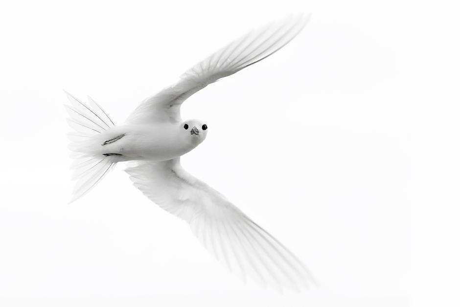 White Tern © Daisy Gilardini