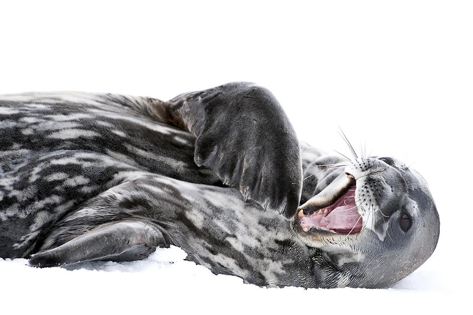 Weddell Seal, yawning. © Daisy Gilardini