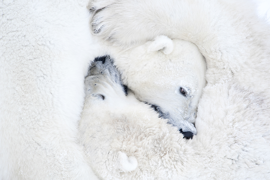 Polar bears hugging. Wapusk National Park – Manitoba, Canada © Daisy Gilardini