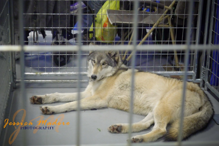 Wolf, Super Pet Expo, New Jersey, Pet Photography