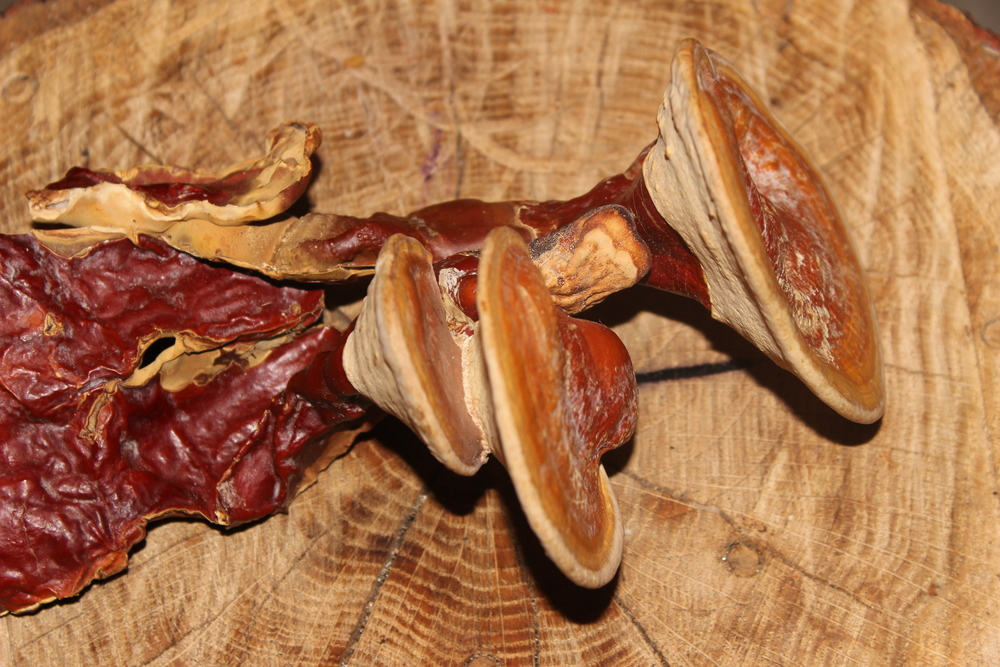 A Sample of Smoky Mnt. Reishi grown from the cloned culture.