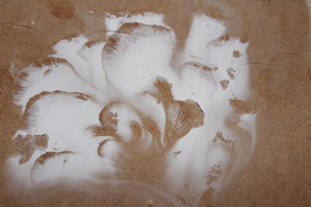 Oyster mushroom spore print