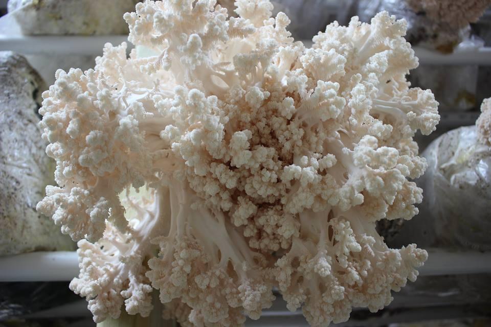 Comb Tooth Mushroom