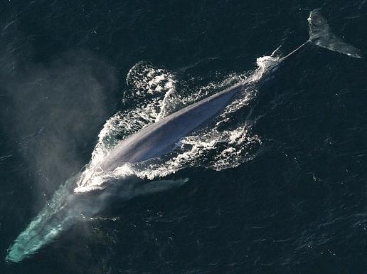 Blue Whale gliding through the ocean