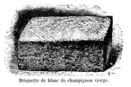 Champignon_briquette_blanc_Vilmorin-Andrieux_1904.png