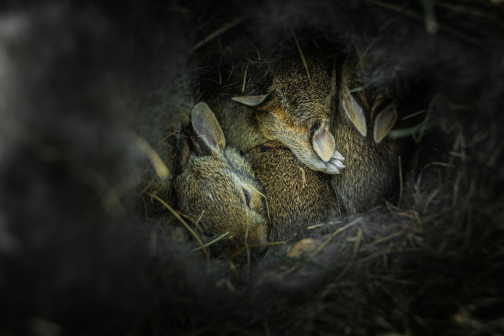 Photo of baby bunnies by our house.  Photograph by Kevin Lee Medlin, Indianapolis, IN.