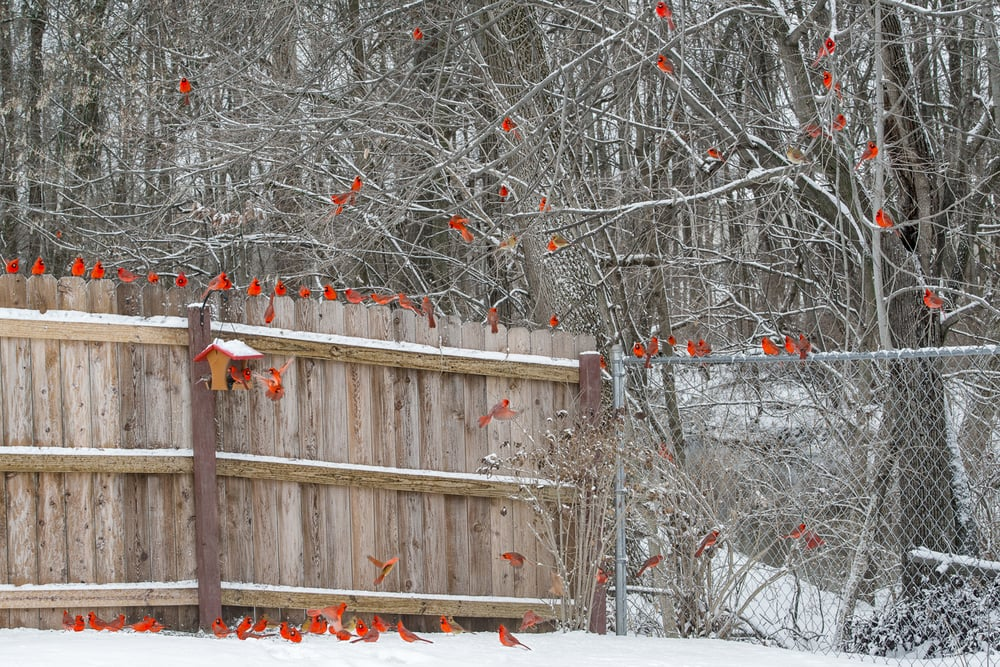 Photo-Composite-Cardinals-Fence
