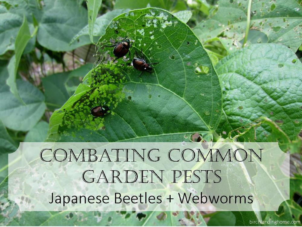 Combating Common Garden Pests:  Japanese Beetles and Webworms / Tent Caterpillars