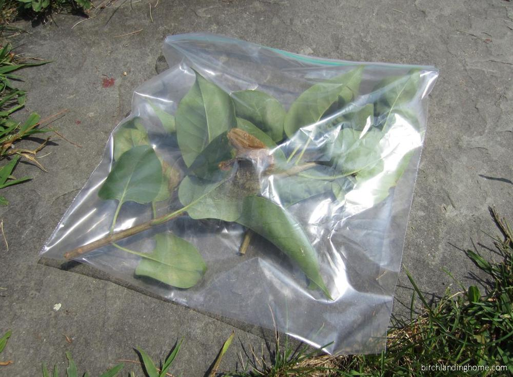 Cut out the webworm / tent caterpillar nest and seal in a plastic bag to dispose of it