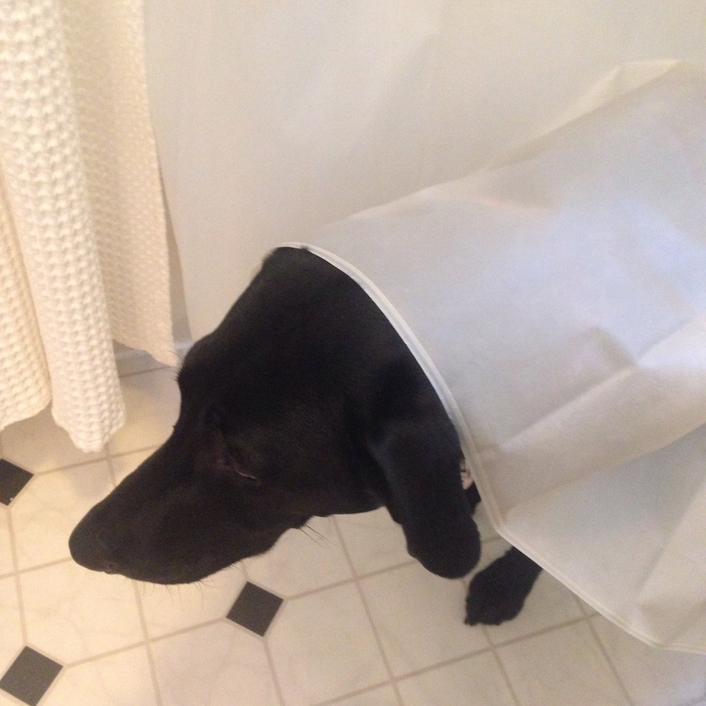 Harley trying to help clean the shower curtain.. I think.