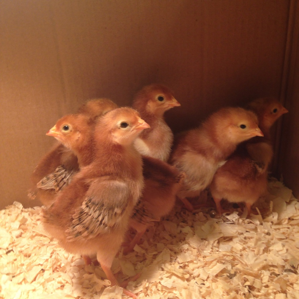 Baby chicks wing feathers are already coming in - they grow so fast!