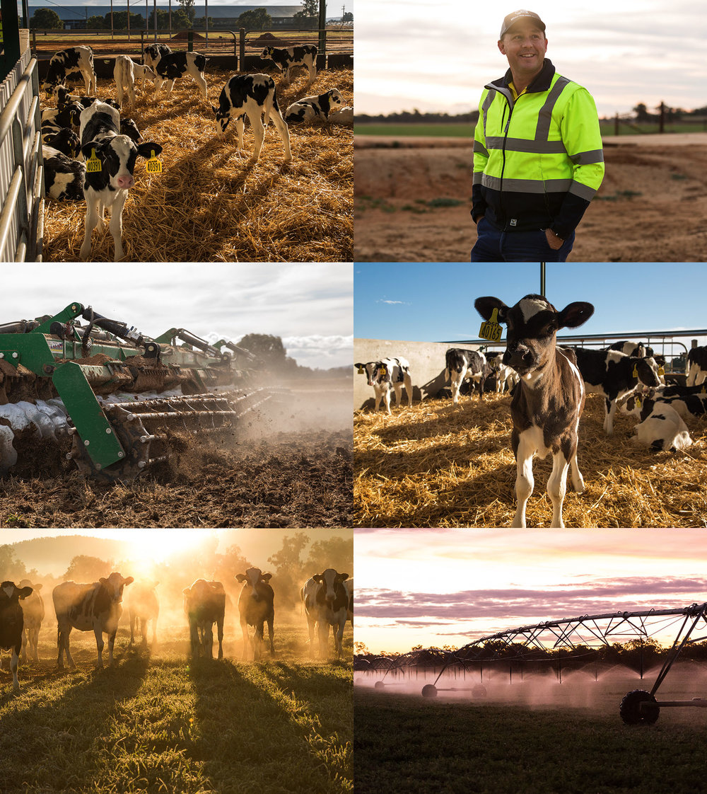 chello-Moxey-Farms-Cows-photography-brand-sydney-agency