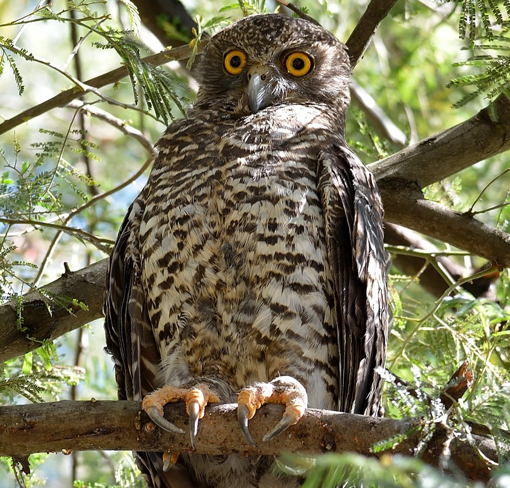 Powerful Owl (F)_1698.JPG