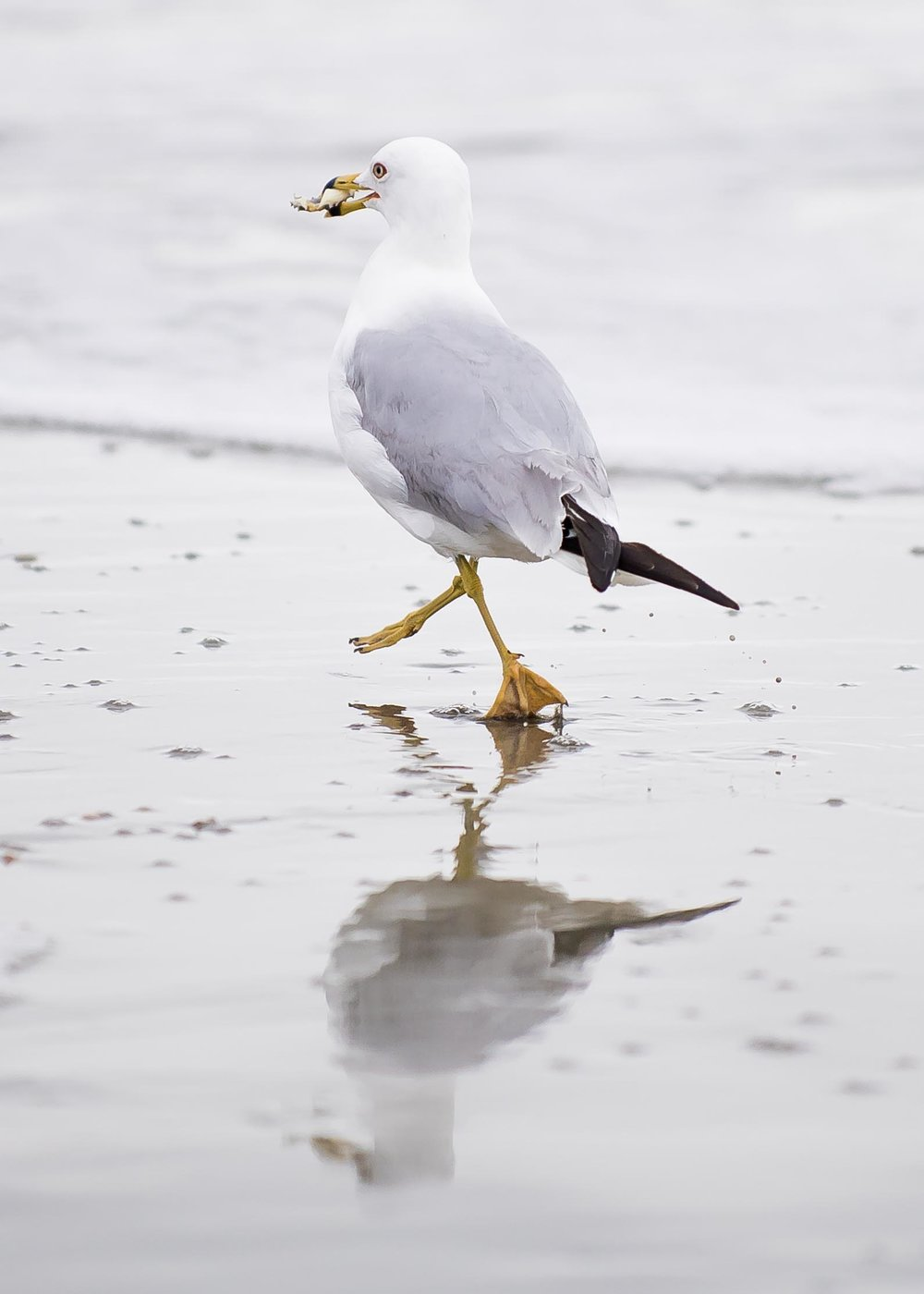 This shot contains a bit of gesture with the ring-billed gull's legs crossed and one foot in the air. It also helps that the bird was carrying a souvenir in it's beak. I shot about 30 similar frames which gave me plenty of options to choose from in finding the best, most 'photographic' image.