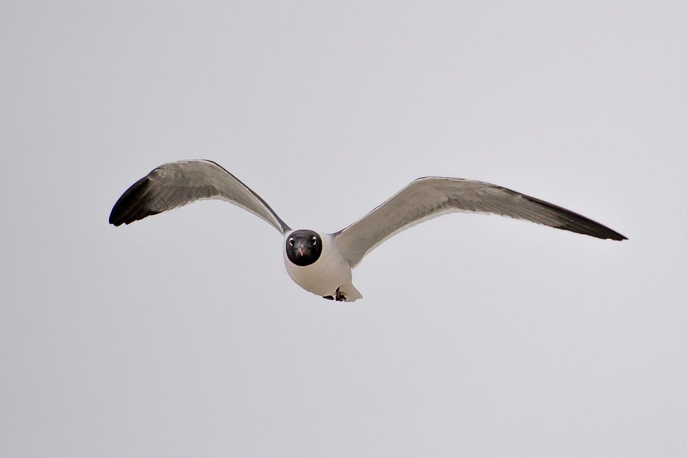 I love the perfect circle around the laughing gull's face.
