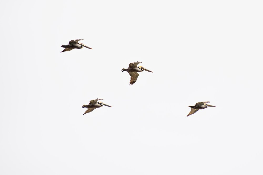 Pelicans in flight.