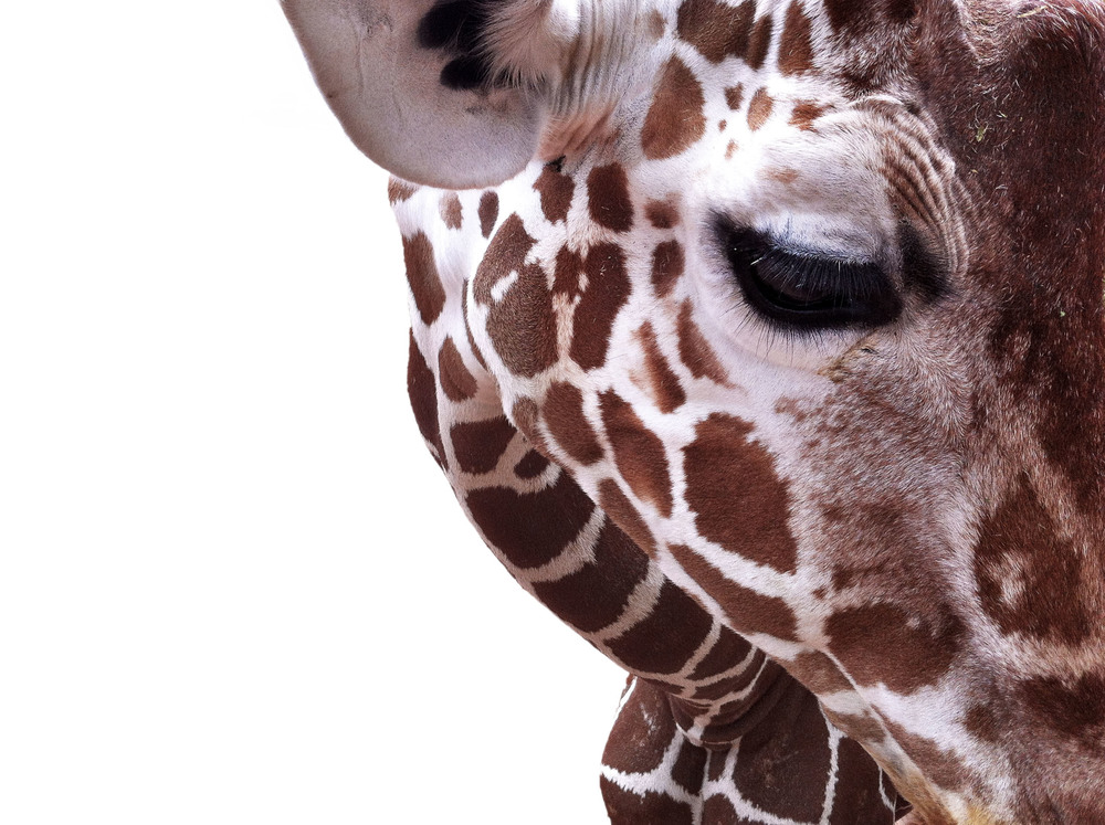 girafface.jpg