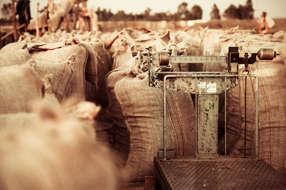 coffee-sacks-in-a-field.jpg