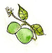 Watermarc Limes