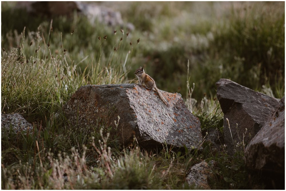 A small chipmunk zips up to a boulder and sits proudly atop it as Adventure Instead, a wedding photographer snaps a photo. The little chipmunk is dwarfed by the size of the boulder in these elopement pictures. This little guy was spotted on the way to the spot where Katie and Logan, the bride and groom, planned to have their elopement ceremony as part of their Colorado mountain wedding.