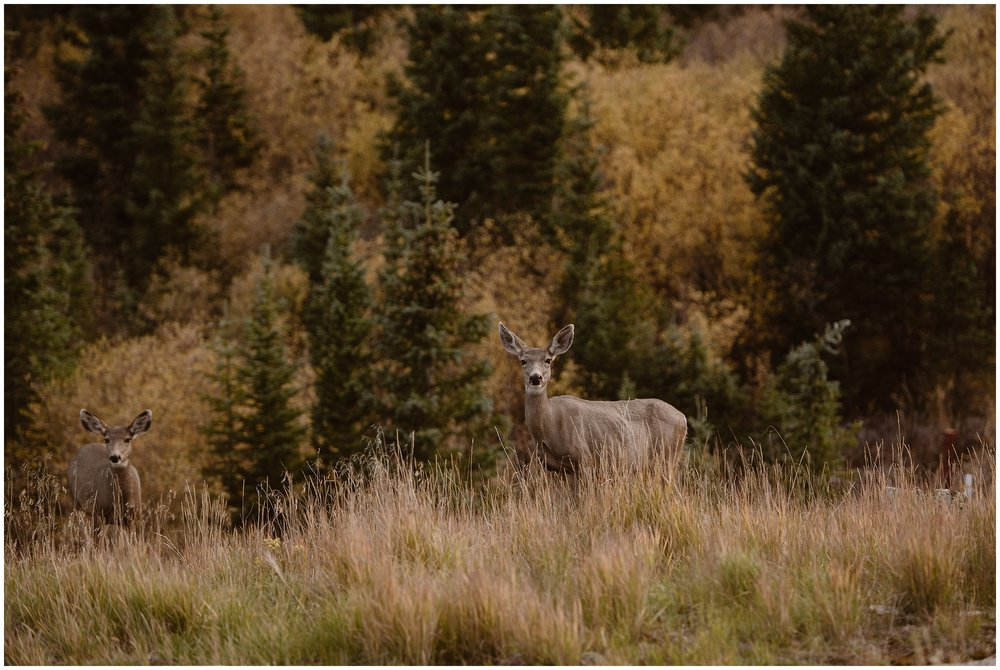 Two deer pop their heads up from the tall, golden grasses in the San Juan mountain wilderness. Choosing to have destination elopement is one of the best eloping ideas because it grants couples the opportunity to see wildlife on their wedding day.