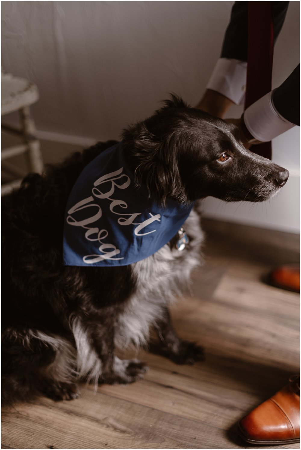 """A black and white pup sits on the floor as its owner fastens a blue handkerchief to its neck that says """"Best Dog."""" This is one of the best ways of how to incorporate your dog in your wedding—give them a place in the wedding party!"""