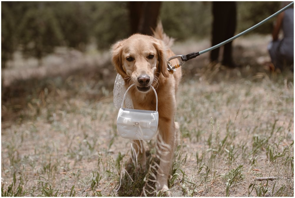 A golden retriever carries a small, white purse in its mouth as it walks next to its owner on a leash. The dog, acting as the dog ring bearer, got to play a major role in this small simple wedding.