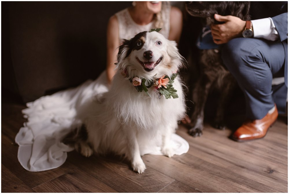 A small, fluffy, white-and-brown dog sits on the hardwood floor in a flowered dog collar. Its owners, the bride and groom, sit behind them with another pup in a blue bandanna. These wedding photos with dogs were captured by Adventure Instead, an elopement photographer.
