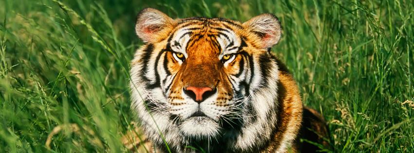 Tiger post.jpg