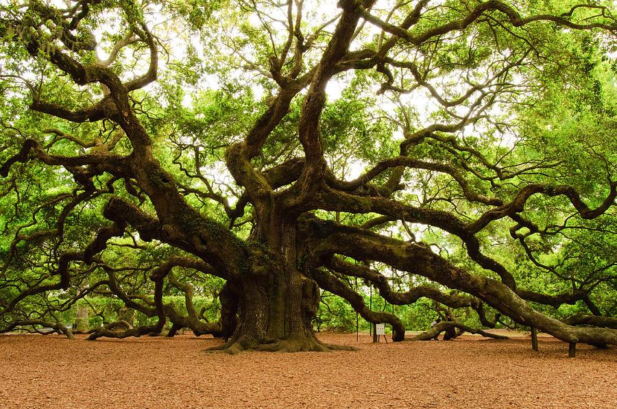 angel-oak-tree-2009-louis-dallara (1).jpg