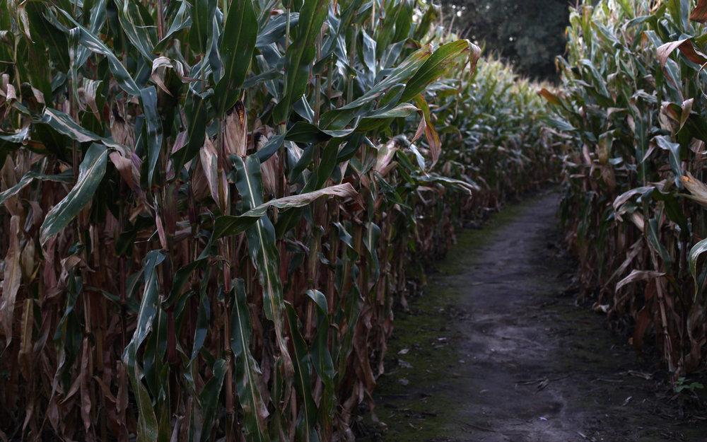 maize2.jpg