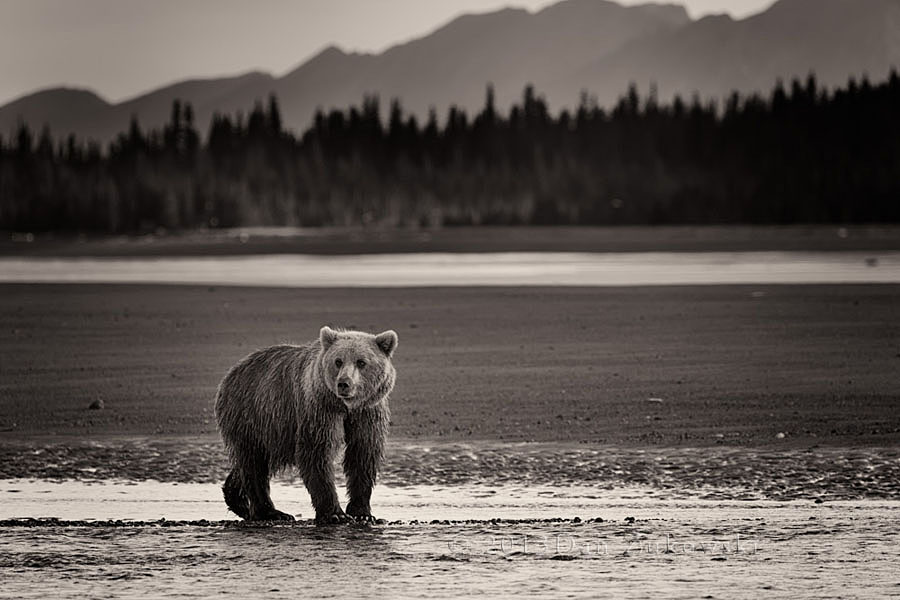 Bear on Tidal Flats