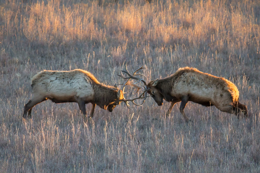 Elk scuffle at Maxwell, Photographed at f/5.6. 1/640 sec, ISO 1600, EF200-400mm f/4L IS USM EXT at 560mm, Canon EOS-1D,  Manual exposure mode.