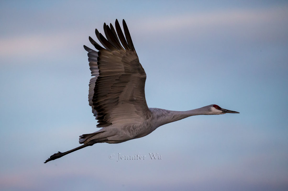 Sandhill Crane at Bosque del Apache National Wildlife Refuge, San Antonio, New Mexico.  f/6.3, 1/3200 second, ISO 5000, EF200-400mm f/4L IS USM EXTat 560 mm. Canon EOS-1D X