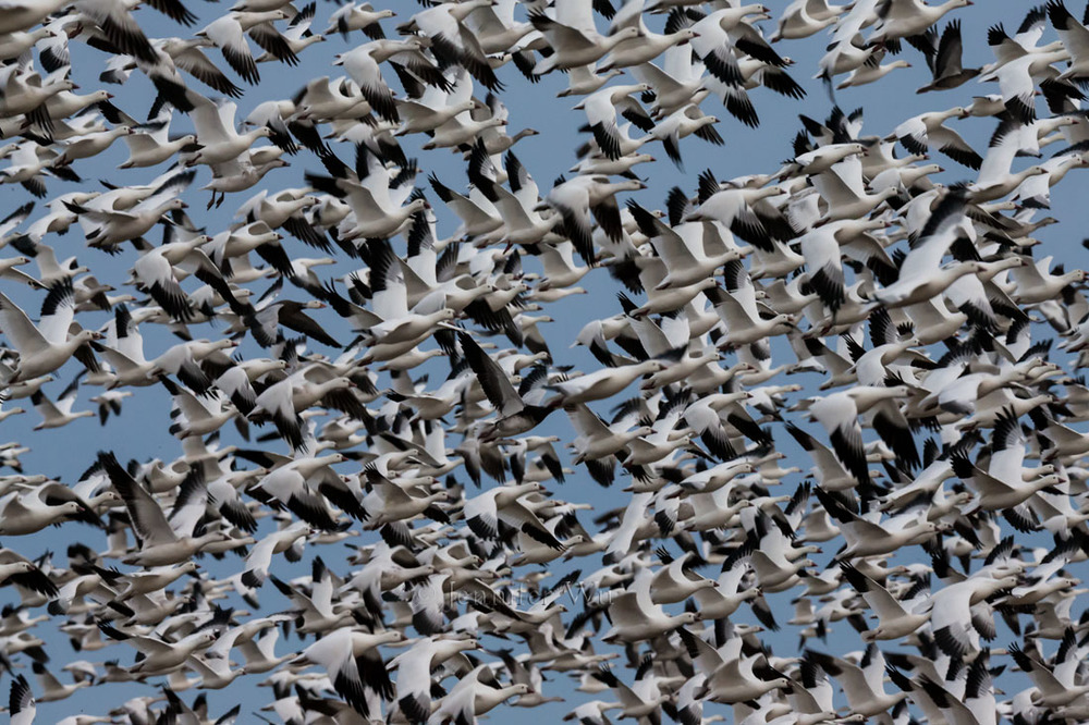 Snow Geese, BOSQUE DEL APACHE NATIONAL WILDLIFE REFUGE, SAN ANTONIO, NEW MEXICO.  F/11, 1/500 SECOND, ISO 5000, EF200-400MM F/4L IS USM EXTAT 412 MM. Canon EOS-1D X