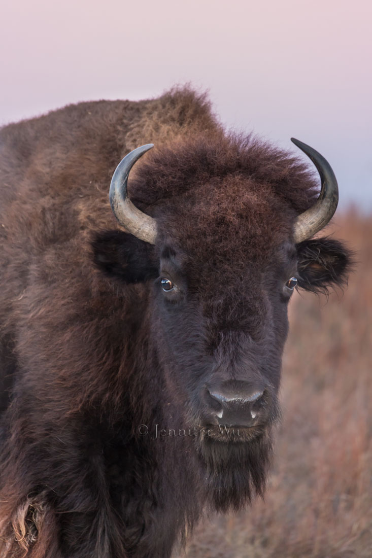 Bison at twilight. Photographed at f/5.6. 1/40 sec, ISO 1250, EF70-300mm f/4-5.6L IS USM at 300 mm, Canon EOS-1D X with aperture priority and +2/3 exposure compensation.