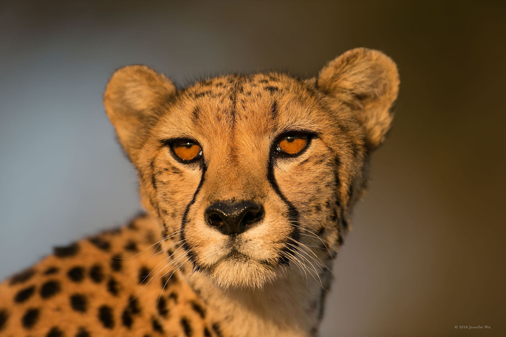 Rescue cheetah in Namibia. Photographed at f/4.0, 1/800 second, ISO 200, EF500mm f/4L IS USM, Canon EOS-1D X