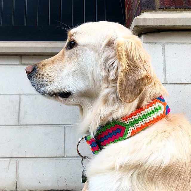 Looking distinguished yet... super fresh!  @thebuenaonda large dog collars are here... Order now at www.thebuenaonda.com! #handmade #fairtrade #oneofakind #love #life #golden #dogs #puppies